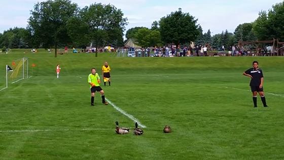 Des canards prennent un carton rouge pendant un match de Football