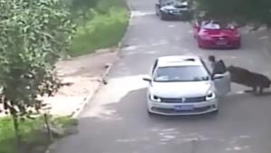 Un tigre attaque une femme sortie de sa voiture pendant un safari
