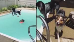 Chien saute sur un autre chien dans une piscine