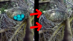 Il filme un nid d'oiseau et va capturer des images terrifiante de la venue d'un intrus