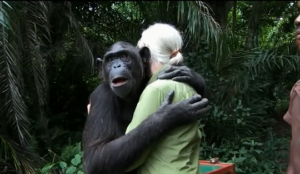 L'incroyable geste d'un chimpanzé à Jane Goodall