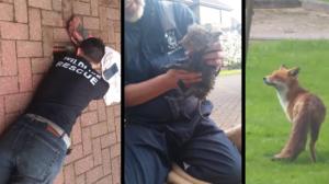 Sauvetage d'un bébé renard coincé dans une canalisation alors que maman attend un peu plus loin