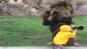 Un garçon attaqué par un Lion au Zoo ! Mais s'écrase contre la vitre