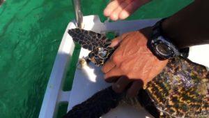 Cette pauvre tortue est couverte de balanes ! Ce pêcheur tente de les lui retirer.