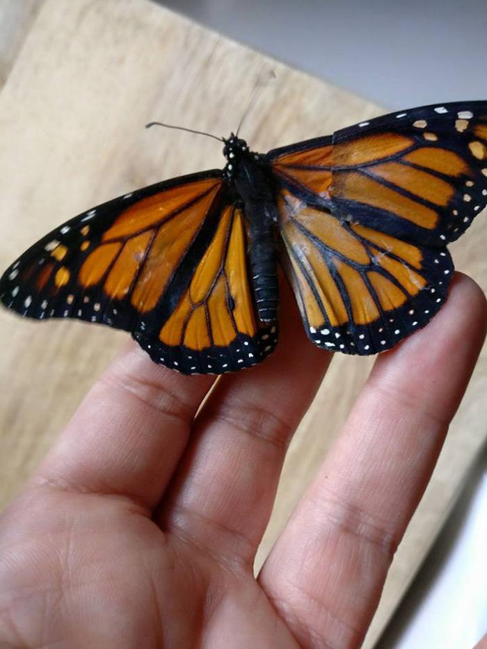 Intervention chirurgicale sur un papillon blessé pour sauver la vie