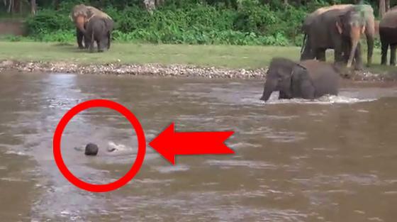 Cet éléphanteau pensait que cet homme était en train de se noyer