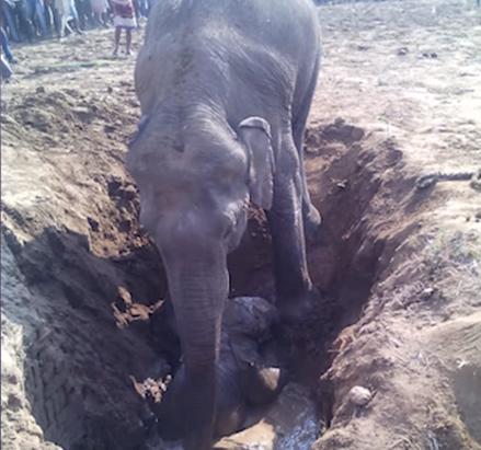 Les villageois aident l'éléphanteau qui est tombé dans un trou
