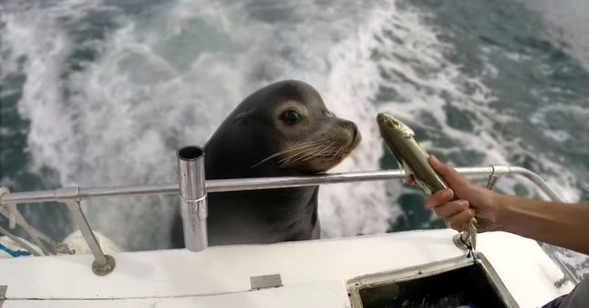 Un lion de mer vient squatter à bord d'un bateau de pêcheurs