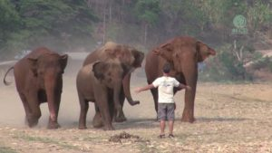 Un homme appelle les éléphants de loin