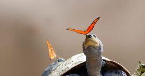 Les papillons qui boivent les larmes des tortues