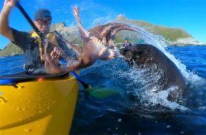 Vidéo: Un kayakiste giflé par un phoque avec un poulpe