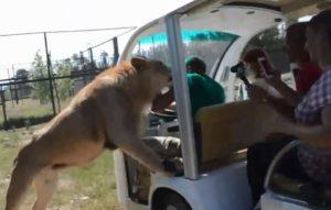 Un lion saute dans le véhicule de touristes dans un zoo en Afrique du Sud