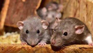 500 kg de cannabis disparus, les policiers accusent des souris