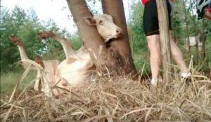 Des cyclistes viennent libérer une vache coincée dans un arbre