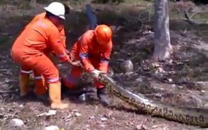 Des ouvriers découvrent un anaconda de longue taille au brésil sur un chantier