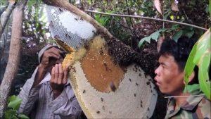 Ils récoltent le miel d'une ruche sauvage