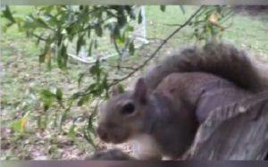 Un écureuil s'est coincé les testicules dans une clôture