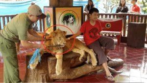 Un lion est drogué pour que les gens puissent être pris en photo avec.