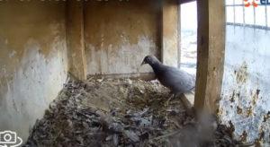 Un pauvre pigeon reçoit la visite d'un faucon dans son abri. Un chasseur en pleine ville sans pitié !