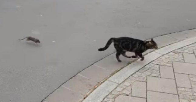 Les rats chassent les chats maintenant ! Tellement gros.
