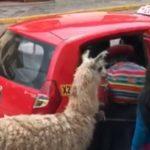 Prendre le taxi avec son Lama.. classe au Pérou !