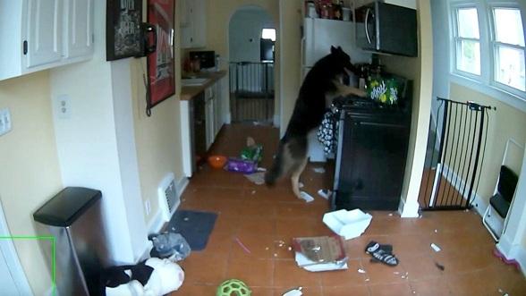 Un chien allume la gazinière et met le feu à la cuisine !