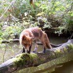 Des animaux traversent un pont naturel sur l'eau !