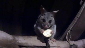 Un écureuil Australien aime manger des biscuits. Très mignon!