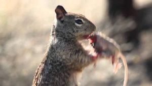 Un écureuil affamé mange une souris !