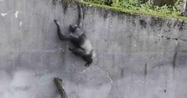 Des chimpanzés s'échappent de leur enclos à l'aide d'une branche dans un zoo