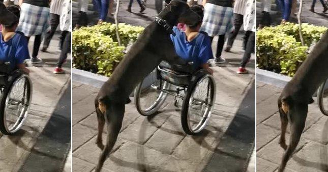 Il dresse son chien à pousser son fauteuil roulant