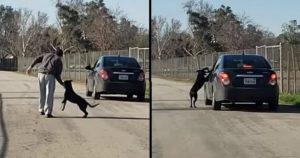 Moment déchirant d'chien courant après la voiture de son maître qui venait de l'abandonner dans la rue