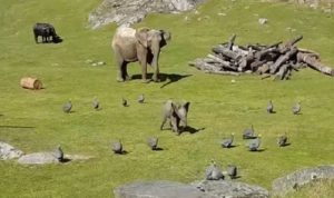Un bébé éléphant chasse des oiseaux et se prend une belle gamelle !