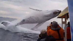 Ces touristes filment un saut de baleine. Moment incroyable !