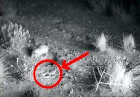 Rat-kangourou donne un coup de pied serpent en sautant