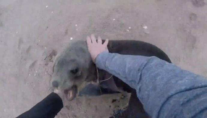 Il attrape une otarie pour lui enlever un filet de pêcheur