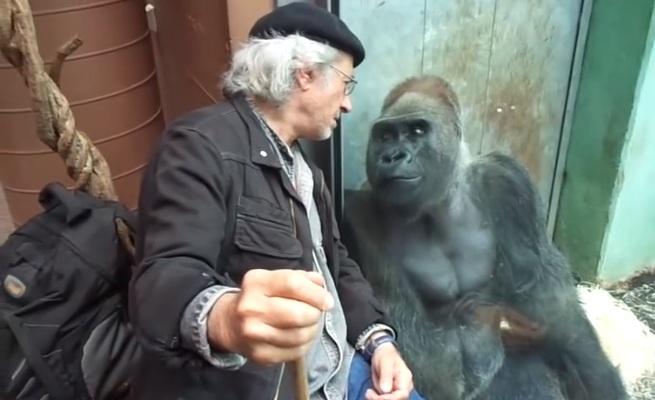 Ce gorille s'entend bien avec ce visiteur du zoo