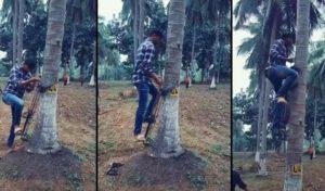 Il grimpe sur les palmiers à l'aide d'un système mécanique