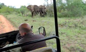 Ce guide de safari fait marche arrière pour éviter les éléphants en colère