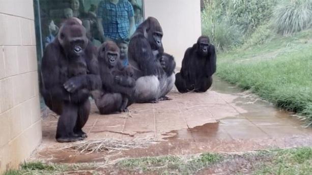 Les gorilles nous montrent qu'ils n'aiment pas être pris dans la pluie