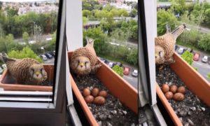 Il nourrit une femelle faucon qui a fait son nid dans son bac à fleur
