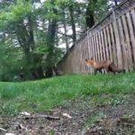 Un renard affamé tente de chasser un écureuil chanceux
