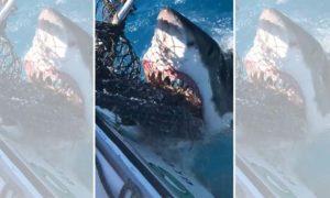 Un grand requin blanc mange à travers un filet de pêche