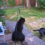 Un chien chasse un ours sans peur pour le faire fuir du jardin
