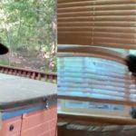 Une femme filme un énorme ours en train d'entrer chez elle par une fenêtre ouverte