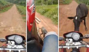 Un motard surpris par une vache en train de faire une roue arrière en moto