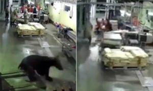 Un ours affamé entre dans une usine de traitement du poisson