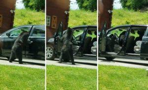 Un ours curieux ouvre les portes des voitures comme un humain