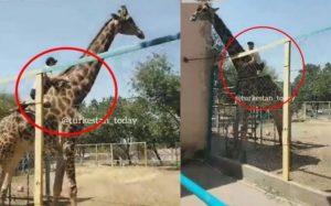Un visiteur du zoo monte sur le dos d'une girafe