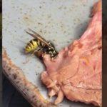 Cette guêpe carnivore coupe un morceau de viande dans l'assiette et s'envole !